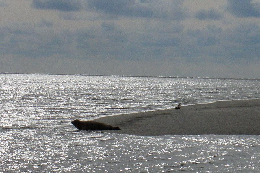 Wattwandern zu den Seehundsbänken