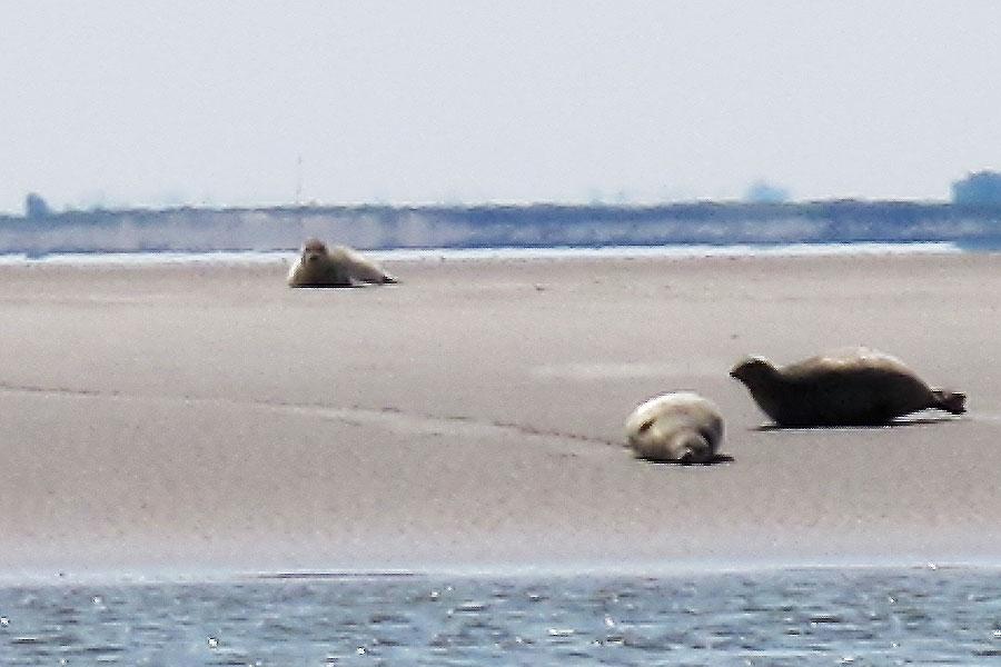 Mit dem Ausflugsdampfer von Tönung aus in die Eidermündung fahren und die Robben beobachten
